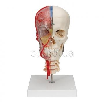 Дидактический череп класса люкс