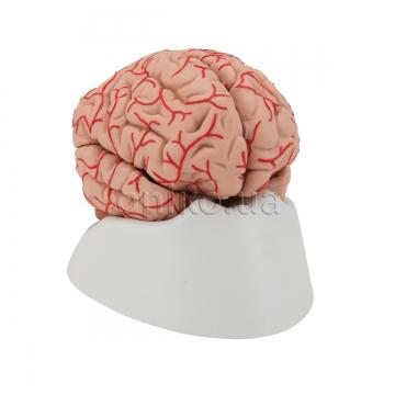 Головний мозок з артеріями, 9 частин, клас люкс