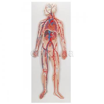Система кровообігу