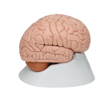 Головний мозок, 8 частин, клас люкс