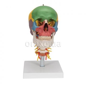 Дидактический череп на шейном отделе позвоночника
