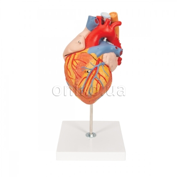 Human Heart Model with Esophagus and Trachea, 2 times Life-Size, 5 part