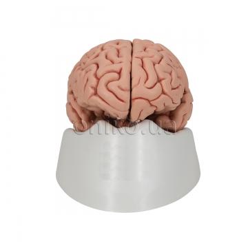 Класичний головний мозок, 5 частин