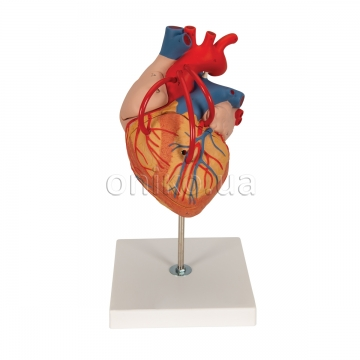 Human Heart Model with Bypass, 2 times Life-Size, 4 part