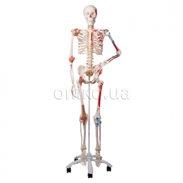 Спеціальна модель кістяка людини 'Сем'
