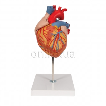 Human Heart Model, 2-times Life-Size, 4 part