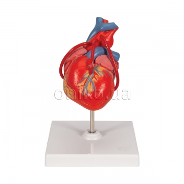 Classic Human Heart Model with Bypass, 2 part