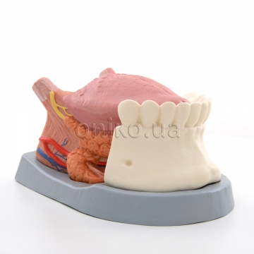 Tongue Model, 2.5 times Life-Size, 4 part