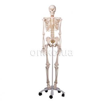 Модель кістяка людини з рухомим хребтом 'Фред'