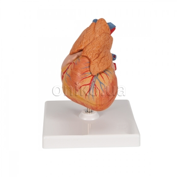 Classic Human Heart Model with Thymus, 3 part