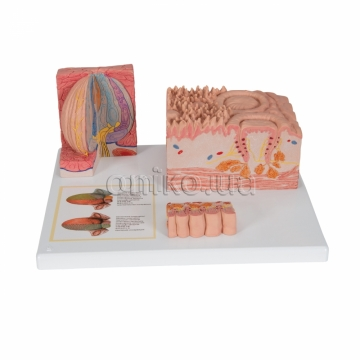 Microanatomy Human Tongue Model