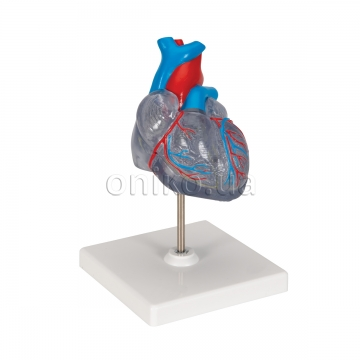 Classic Human Heart Model with Conducting System, 2 part
