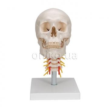 Классический череп с шейным отделом позвоночника