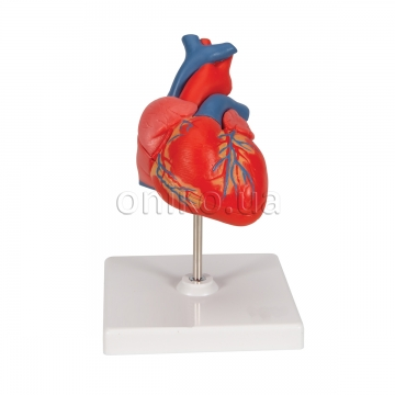 Classic Human Heart Model, 2 part