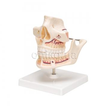 Зуби та щелепи