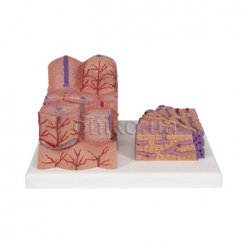 Микроанатомическая модель печени