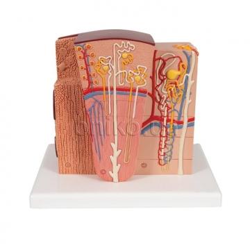 Микроанатомическая модель почки