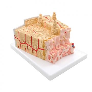 Микроанатомическая модель строения кости
