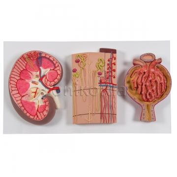 Разрез почки, нефрон, кровеносные сосуды и почечный клубочек
