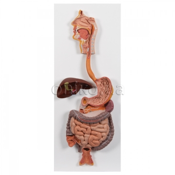 Digestive System Models
