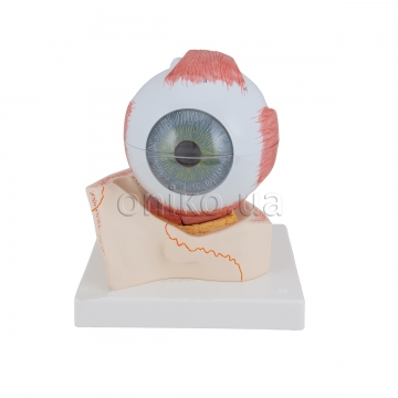 Human Eye Model, 5 times Full-Size, 7 part