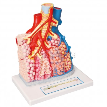 Model of Pulmonary Lobule with Surrounding Blood Vessels, 130 times Magnified