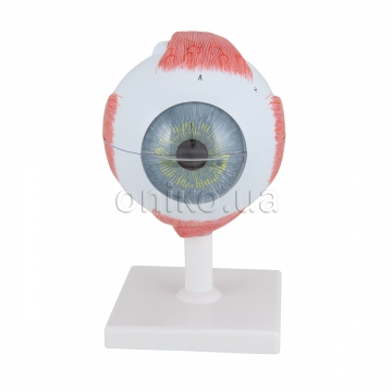 Human Eye Model, 5 times Full-Size, 6 part