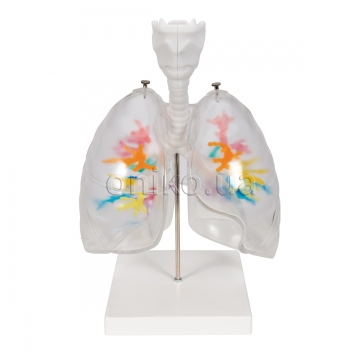 Модель гортані з бронхіальним деревом і прозорими легенями