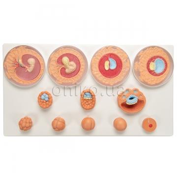 Развитие эмбриона, 12 стадий