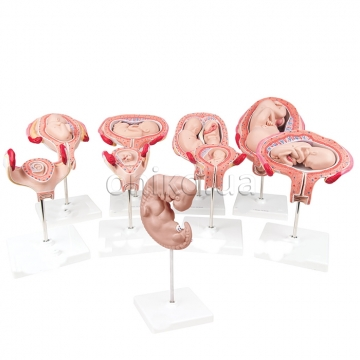 Набор моделей стадий беременности, класс люкс, 9 моделей