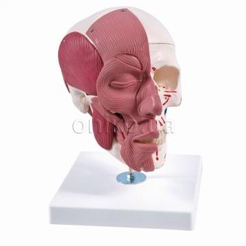 Череп с лицевыми мышцами