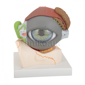 Human Eye Model, 5 times full-size, 8 part