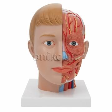 Модель голови і шиї, 4 частини
