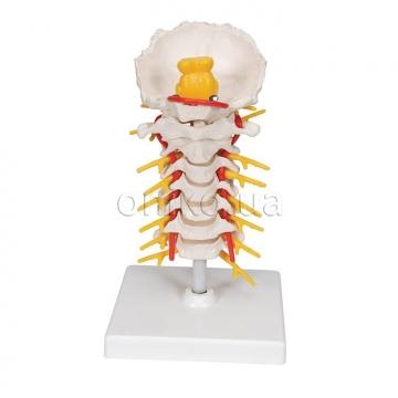 Хребетні моделі