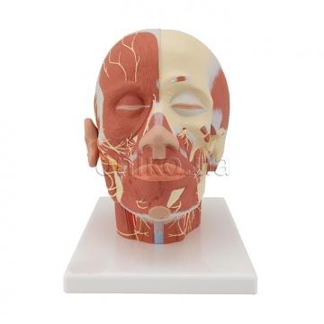 М'язи голови з нервами