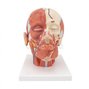 Мышцы головы с кровеносными сосудами