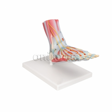 Foot Skeleton Model with Ligaments & Muscles