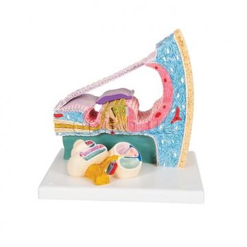 Модель Кортієвого органу