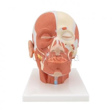 Мускулатура головы