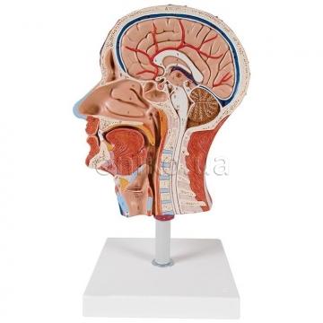 Половина головы с мышцами