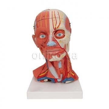 Мускулатура голови та шиї