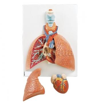 Легені з гортанню, 5 частин