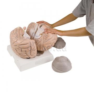 Головний мозок, 14 частин, збільшення в 2.5 рази