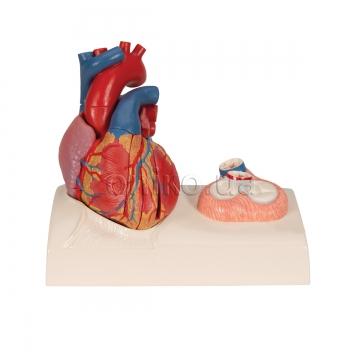 Модель сердца на подставке, 5 частей
