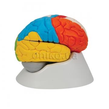 Нейроанатомічна модель головного мозку, 8 частин