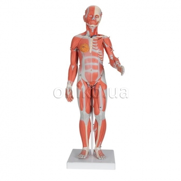 1/2 Life-Size Complete Human Dual Sex Muscle Model, 33 part