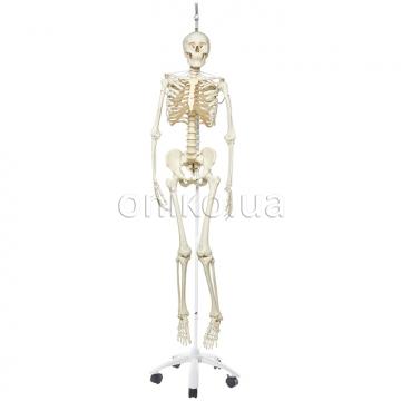 Фізіологічний кістяк (підвісний)
