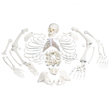 Частини кістяка