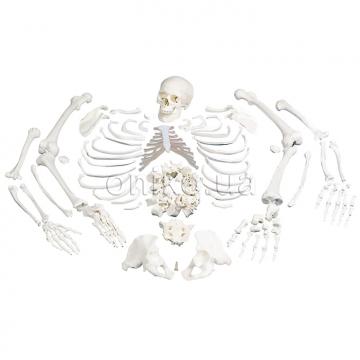 Набор костей половины скелета
