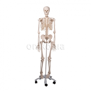 Стандартна модель кістяка людини 'Стен'